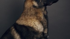 Kraftwerk K9 German Shepherd profile