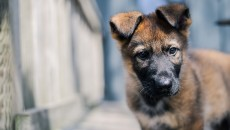 Kraftwerk K9 German Shepherd Puppy